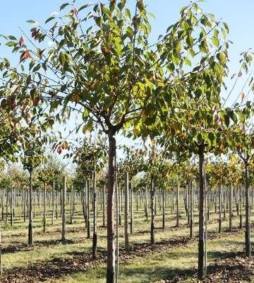 taille arbuste cerisier