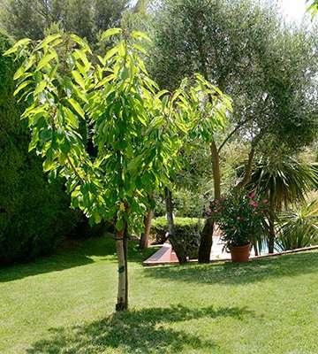 plantation arbre à racines nues