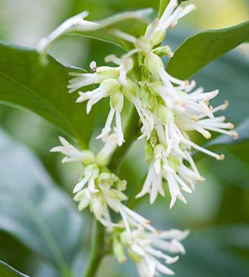 Fleurs sarcococca