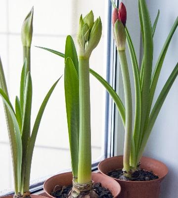 amaryllis belladonna en pot