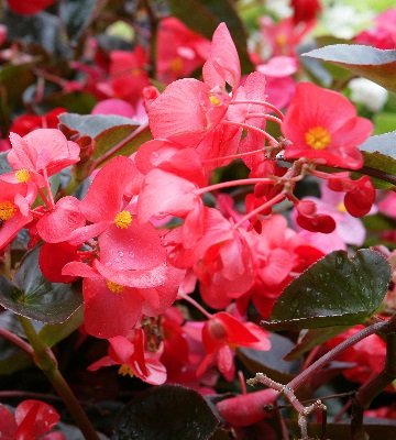 Begonia benariensis 'Big'