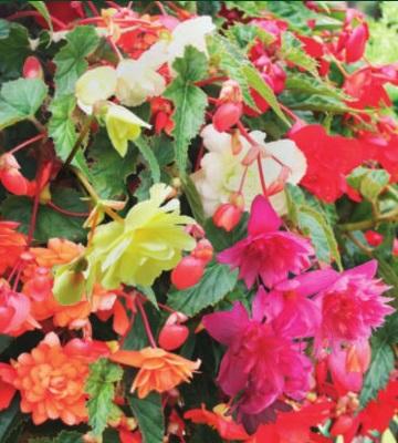 Begonia pendula 'Cascade'