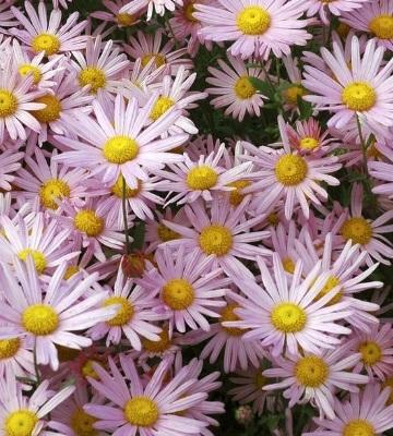 Chrysanthème Clara Curtis