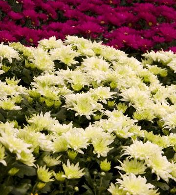 Chrysanthemum indicum Swifty
