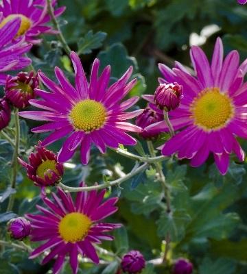Chrysanthème Mélanie