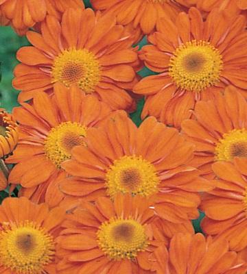 Chrysanthème Scarlet