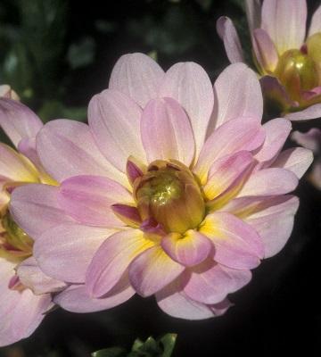 dahlia à fleur de camélia prestance