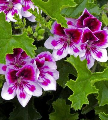 pelargonium jardin