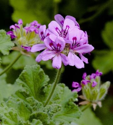 géranium feuillage parfumé