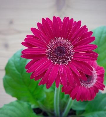 fleur gerbera