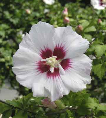 hibiscus helene