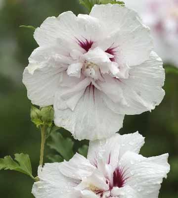 hibiscus china chiffon