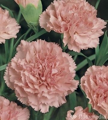 oeillet commun œillet des fleuristes dianthus caryophyllus