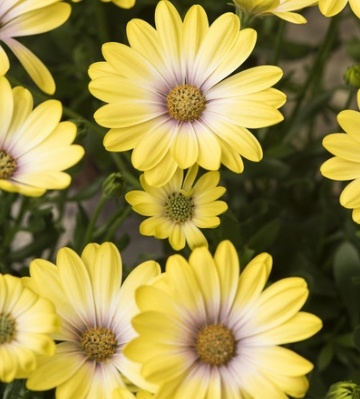 osteospermum summer hero