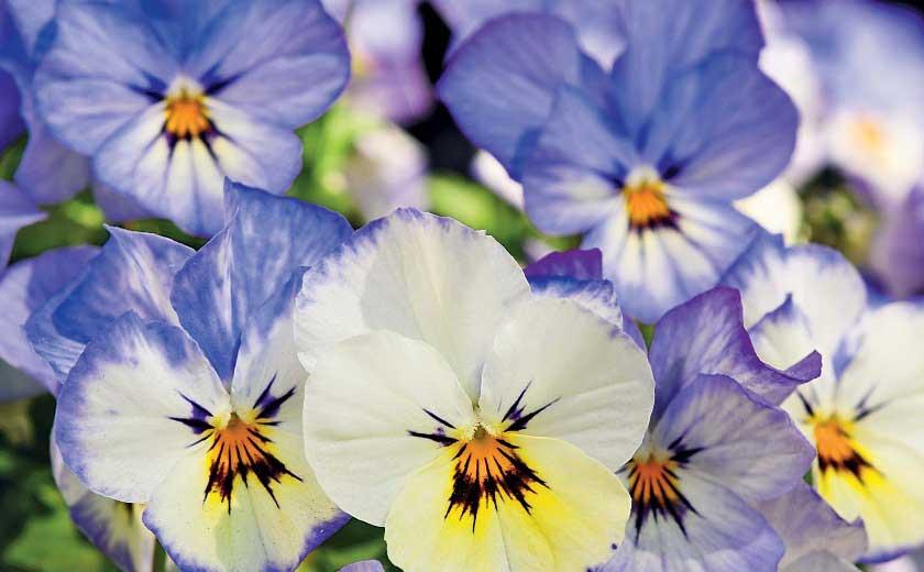 fleurs viola cornuta