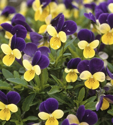 violette cornuta