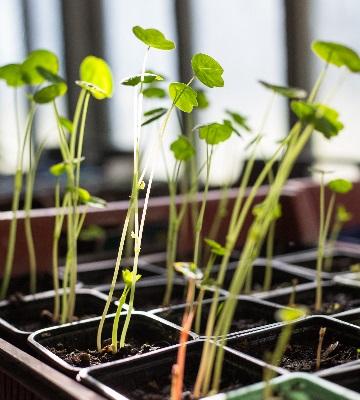 plants capucines