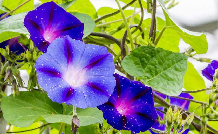 plante annuelle volubilis