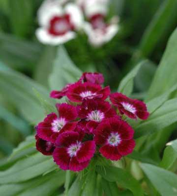 Plantes bisannuelles pour jardinières
