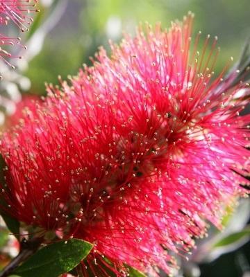 plante mellifère callistemon