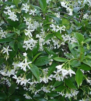 plante mellifère jasmin