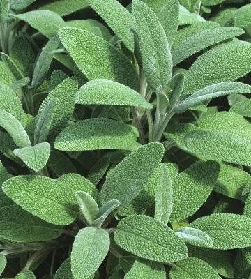 plante mellifère sauge