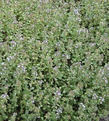 plante mellifère thym