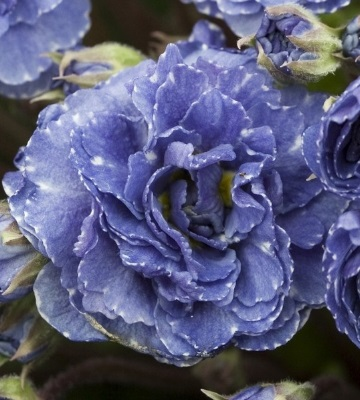 Primevère commune Blue Sapphire