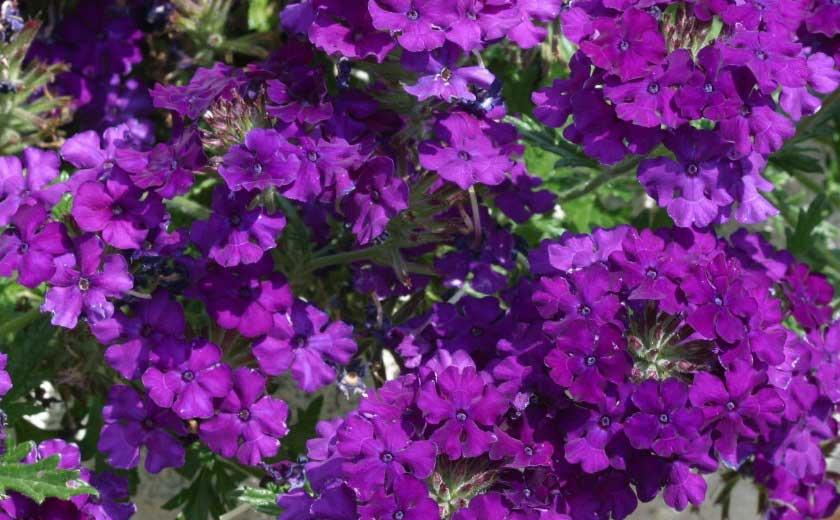 verveines violettes
