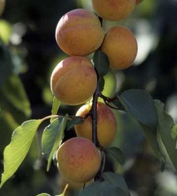 abricotier rouge du roussillon