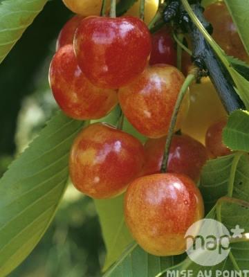 cerisier napoleon