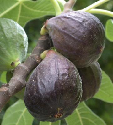 variete figuier noire de caromb