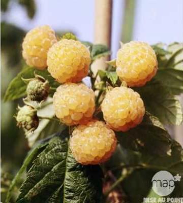 variete framboisier jaune fallgold