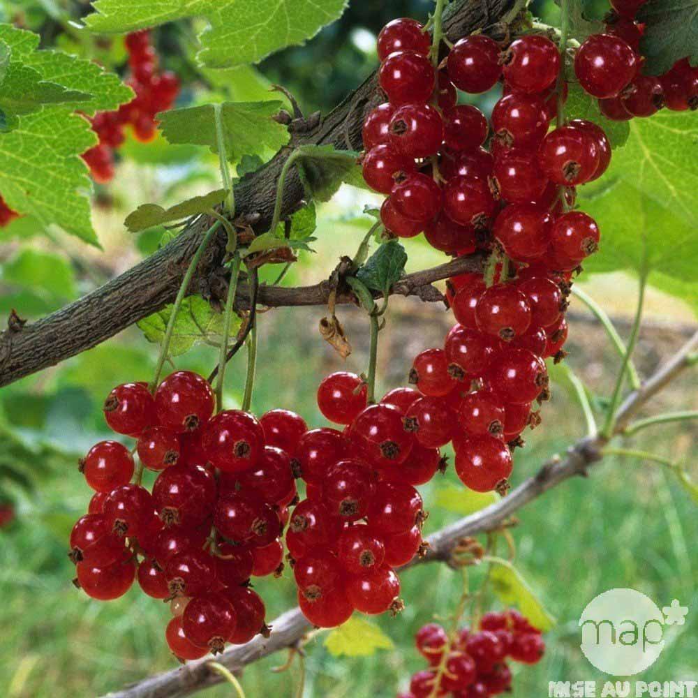groseillier junifer