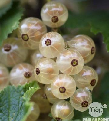 groseiller grappes versaillaise blanche