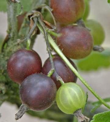 variétés petits fruits caseille