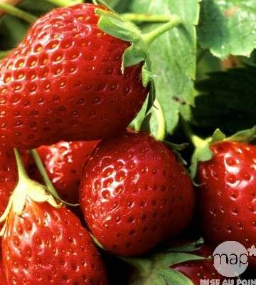Variété de petits fruit le fraisier