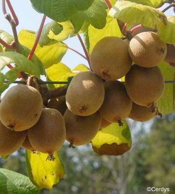 variétés petits fruits kiwi