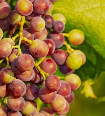 Variete petits fruits vigne