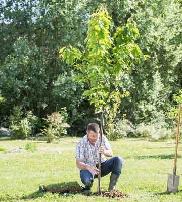 Plantation arbre fruitier