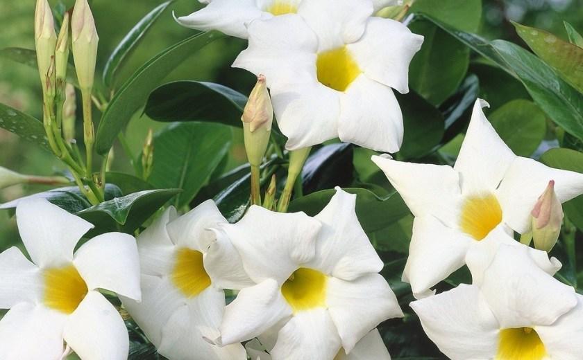 dipladenia sanderi blanc