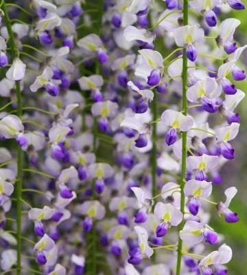 glycine wisteria floribunda