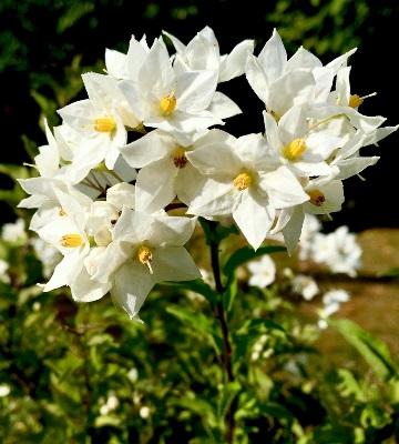 jasmin fleur taille