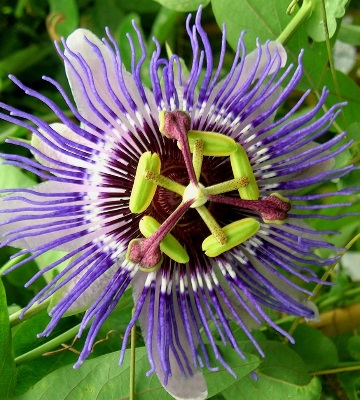 passiflora caerulea purple haze