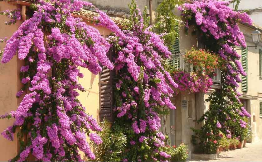 Taille bougainvillier