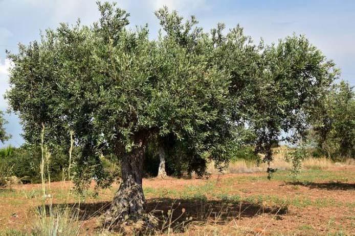 L'olivier est l'arbre représentatif de la région méditerranéenne