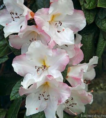 rhododendron fleurs