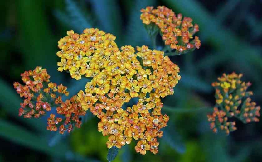 Achilée floraison et feuillage