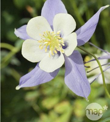 ancolie des jardins 'Blue Star'