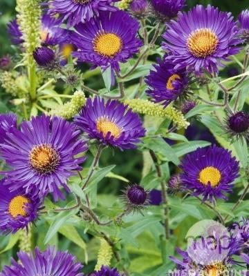Aster de nouvelle angleterre violetta